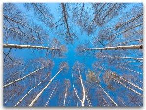 Bjørketrær